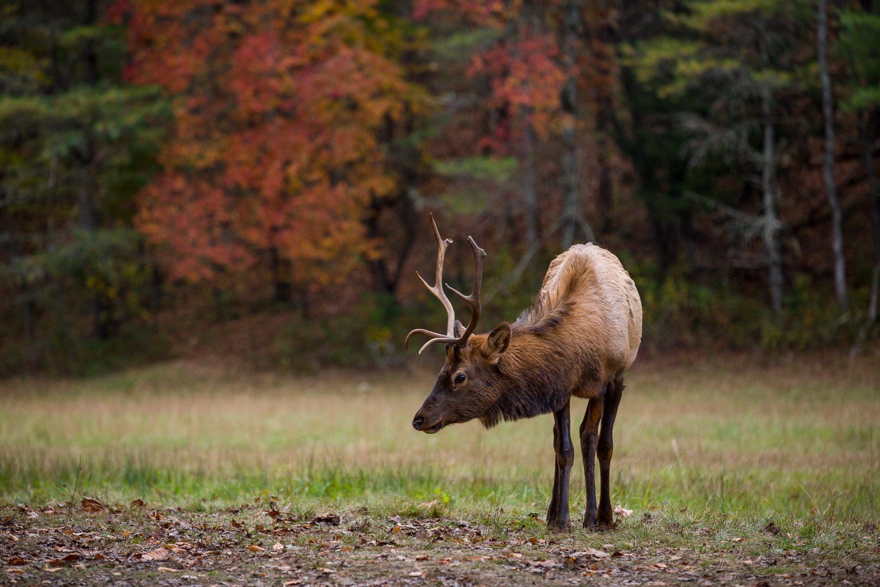Cute Posed Juvenile Male Elk